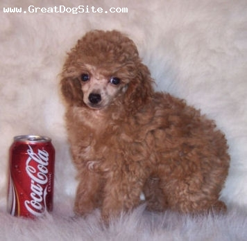 Toy Poodle, 10 weeks, Apricot, Reba has the best personality and one of the fullest coats. She is 6 1/2 lbs grown. I love her baby picture.