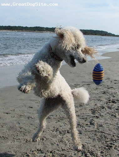 Toy Poodle, 2 years, White, Jumping.