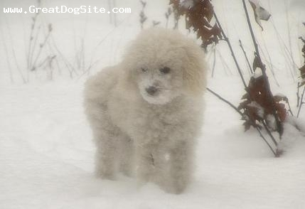 Toy Poodle, 6 weeks, White, In the snow.
