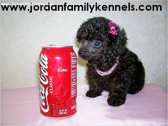 Toy Poodle, 8 weeks, Black, Tiny Teacup sized Poodle from us here at Jordan Family Kennels.