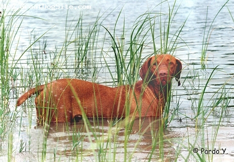 Vizsla, 1 year, Brown, In the water.