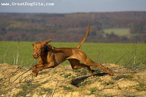 Vizsla, 1 year, Brown, Running.
