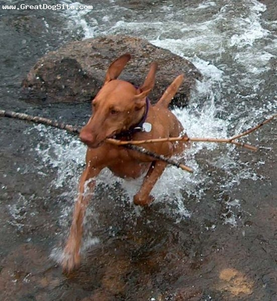 Vizsla, 1 year, Brown, he loves his stick
