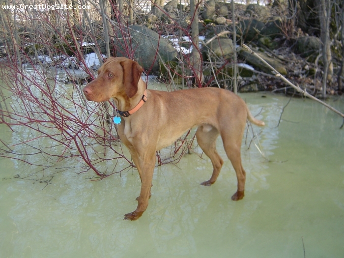 Vizsla, 2 yrs, Rust, Our dog Gomer, hunting in the creek during a spring thaw.