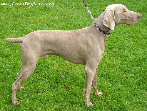 Weimaraner, 1 year, Gray, befor a dog show