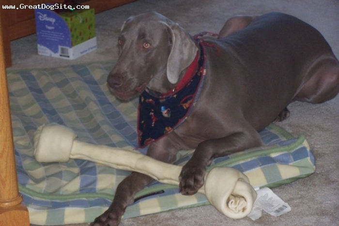 Weimaraner, 1 year, Gray, This is for me...