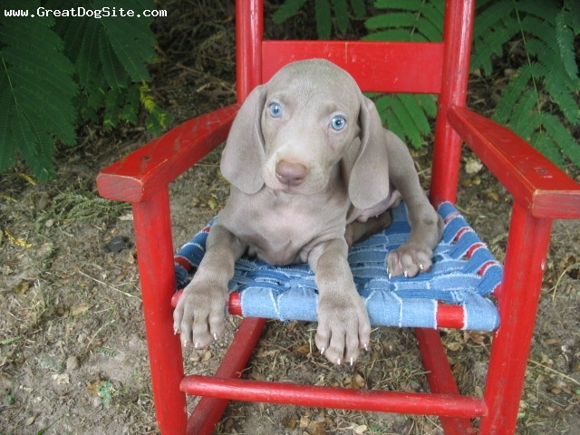 Weimaraner, 2 mos, Blue, He is our baby!