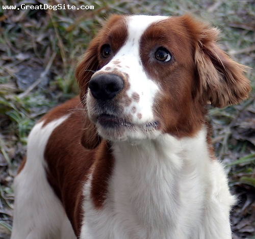 Welsh Springer Spaniel, 11 months, Brown and White, Face shot.