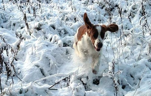 Welsh Springer Spaniel, 11 months, Brown and White, Running in the snow.