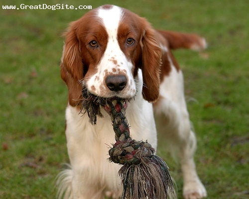 Welsh Springer Spaniel, 8 months, Brown and White, With his rope.