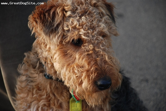 Welsh Terrier, 1.5 years, Brown, long haired face