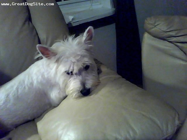West Highland White Terrier, 10 mo., White, Just came to us yesterday.  She is a little