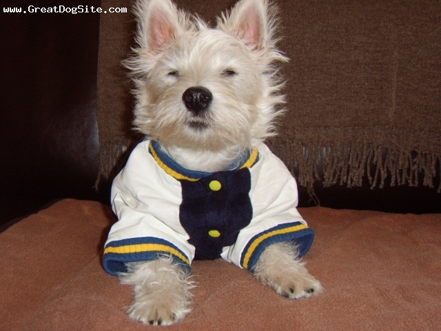 West Highland White Terrier, 10 months, white, Crosby posing in his new jumper