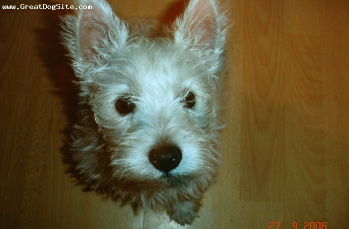 West Highland White Terrier, 10 months, white, very lovin and money couldnt buy her