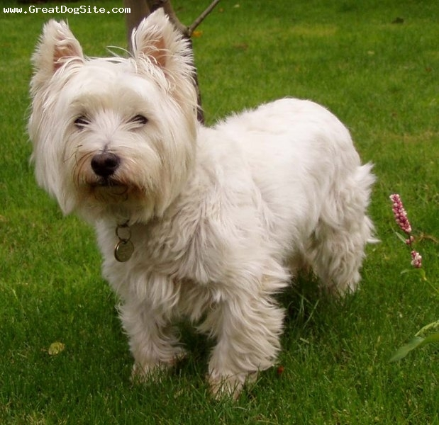 West Highland White Terrier, 2 years, White, Great haircut
