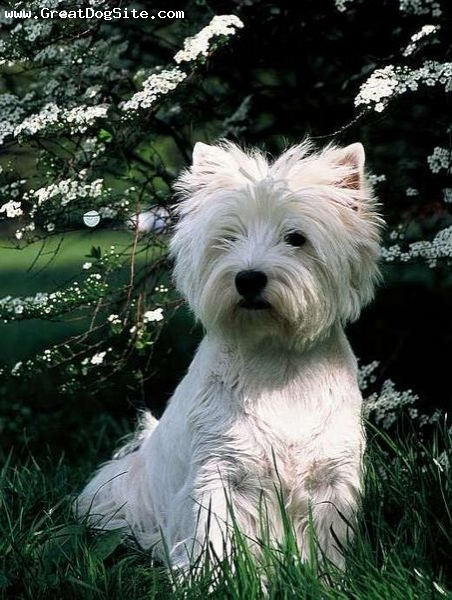 West Highland White Terrier, 4 months, White, In some tall grass.