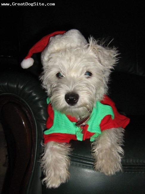 West Highland White Terrier, 4 months, white, christmas cheer