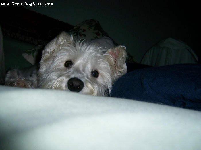 West Highland White Terrier, 4, white, Laying on my pillow.