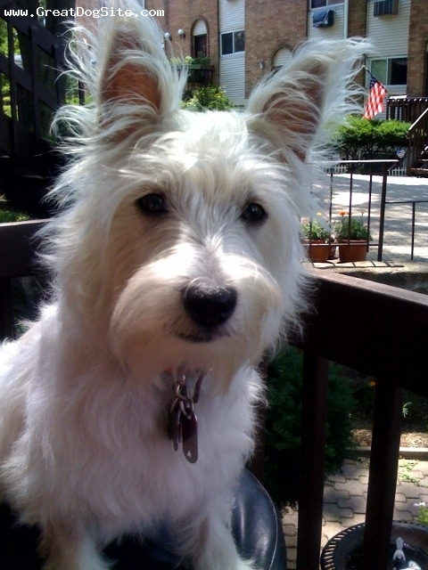 West Highland White Terrier, 6 months, White, Posing for a photo