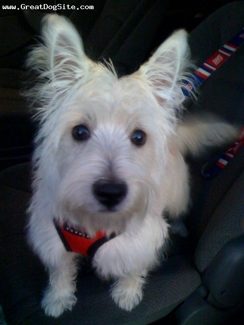 West Highland White Terrier, 6 months, White, Ready for a walk