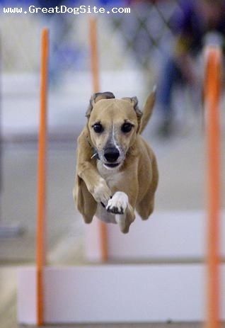 Whippet, 1 year, Brown, agility training