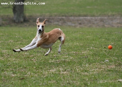 Whippet, 1.5 years, Brown, getting the ball