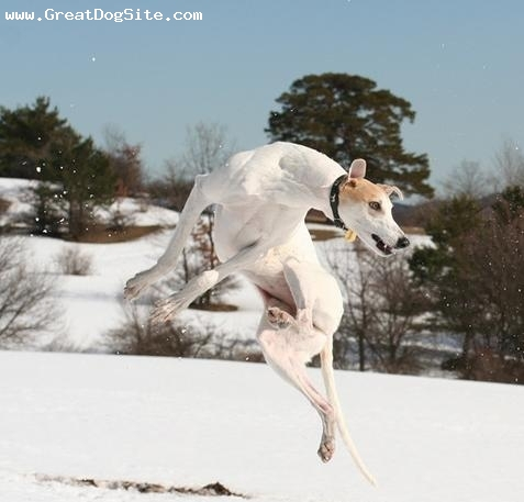 Whippet, 2 years, White, jumping and playing