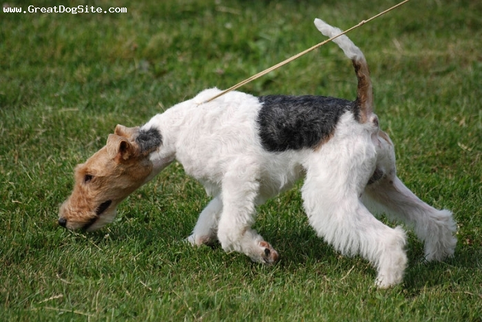 Wirehaired Fox Terrier, 1 year, Tri Color, smelling around