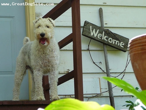 Wirehaired Fox Terrier, 1 year, White, on the porch.