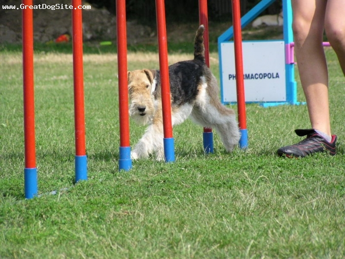 Wirehaired Fox Terrier, 3 years, Brown and White, showing his agility