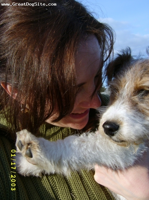 Wirehaired Fox Terrier, 4 mos, tri, man's best friend