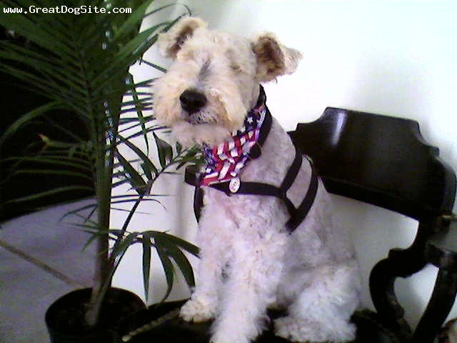Wirehaired Fox Terrier, 7, Tri-Color, Fiesty little girl, very curious about everyone and everything.  She is completely blind but very smart.  she can learn a new environment in a matter of days.  A complete bed bug and cuddler.
