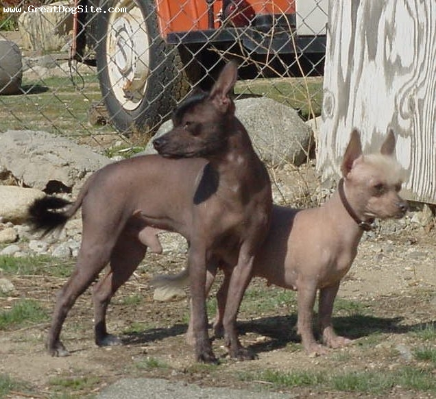 Xoloitzcuintli, 1 year, Hairless, It's hot!