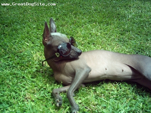 Xoloitzcuintli, 6 months, Hairless, Got some shades.