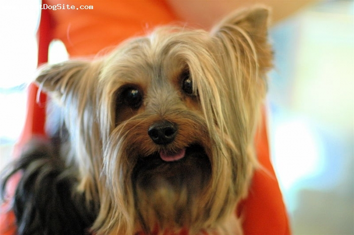 Yorkshire Terrier, 1 year, Brown, shorter hair