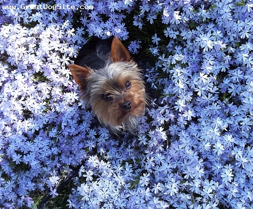 Yorkshire Terrier, unsure, Brown, Photo by Janice Dean of