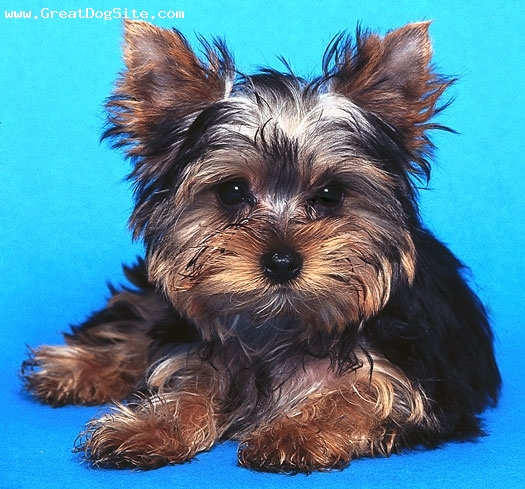 Yorkshire Terrier, 2, black and browne, black and browne ,good behaved,potty trained