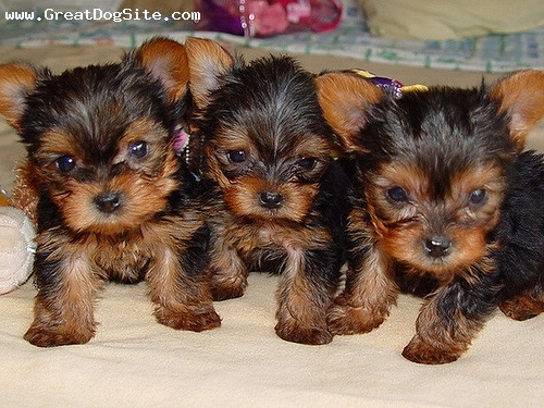 Yorkshire Terrier, 3 weeks, Brown, newborns