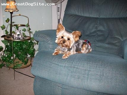 Yorkshire Terrier, 3, brown and black, large ears