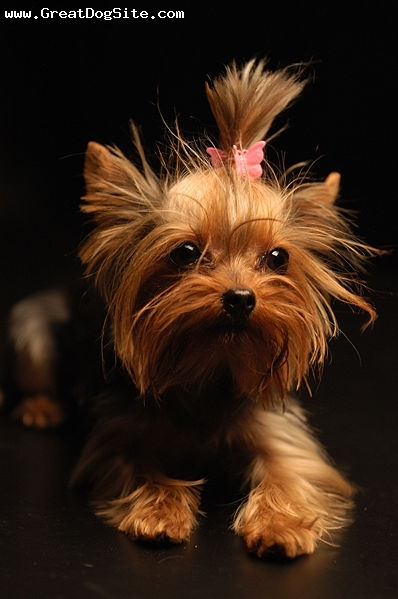 Yorkshire Terrier, 8 months, Brown, my new yorkshire