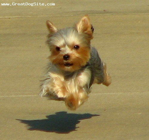 Yorkshire Terrier, 8 months, Brown, Running and jumping