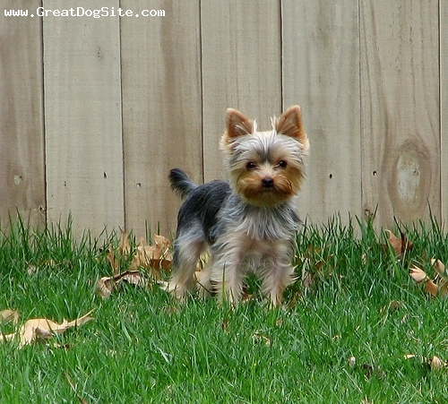 Yorkshire Terrier, 8 months, Brown, standing still