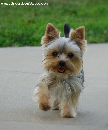 Yorkshire Terrier, 8 months, Brown, on the sidewalk