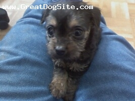 Yorkshire Terrier, 8-9 weeks, Black and Tan, He is a happy, friendly little dog.