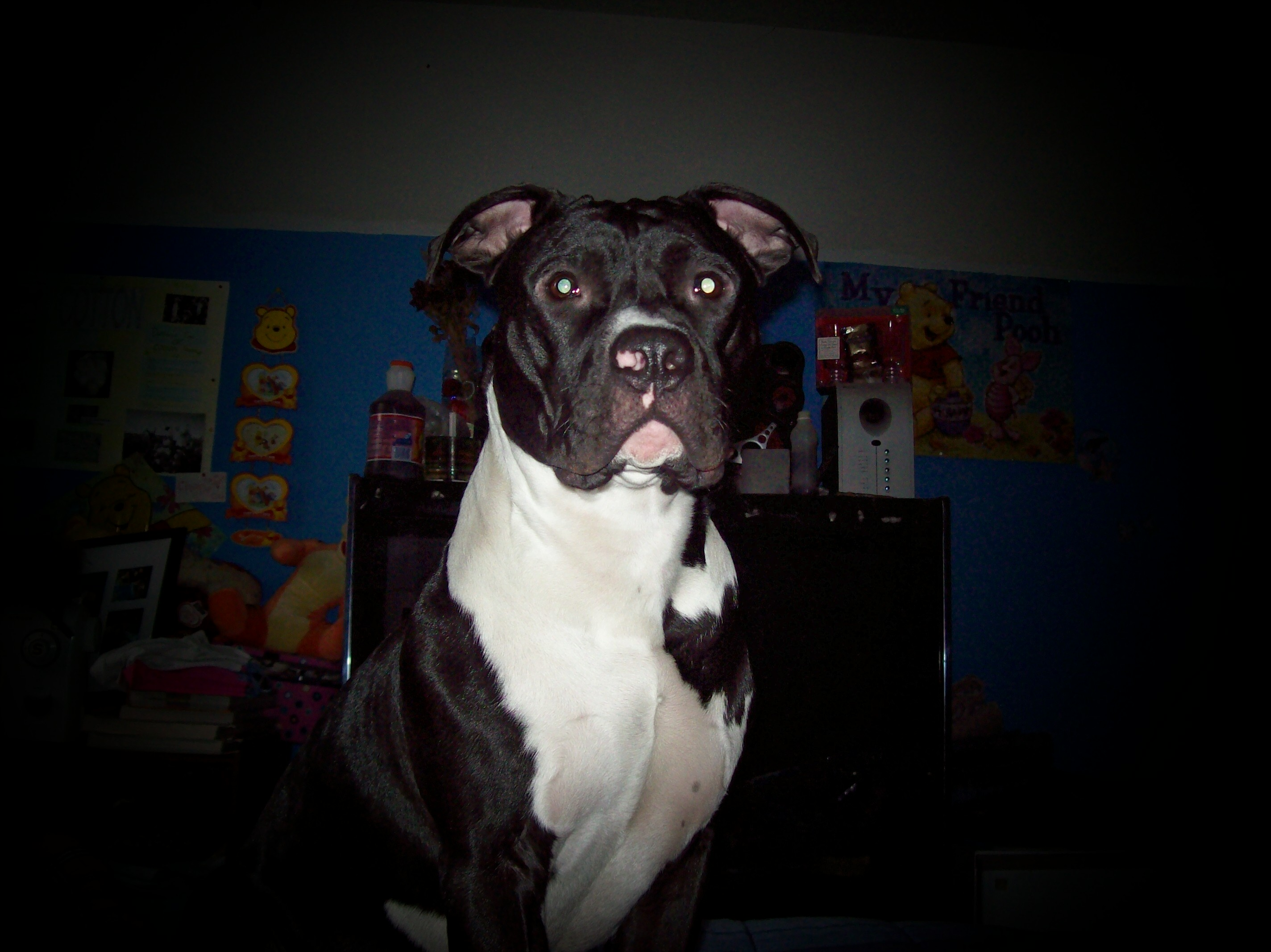 American Pit Bull Terrier | GreatDogSite